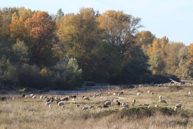 Moutons en pature