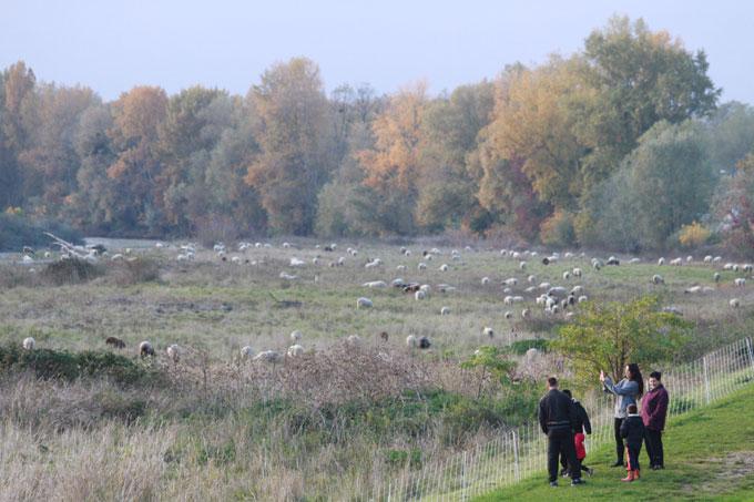Les moutons se donnent en spectacle